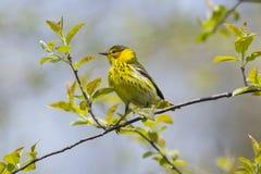 Cape May sångarefågel under vårmigra Arkivfoto