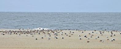 Cape May: Shore Birds Stock Photos