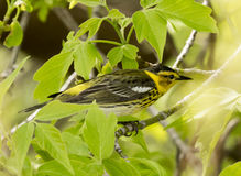 Cape May Warbler Royalty Free Stock Photography