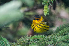 Cape May Warbler Royalty Free Stock Images