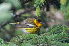 Cape May Warbler Royalty Free Stock Image