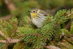 Cape May Warbler Stock Images