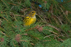 Cape May Warbler Stock Photo
