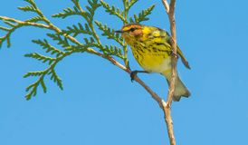Cape May Warbler. Male Cape May Warbler perched on top of a cedar tree looking out. Rouge National Urban Park, Toronto, Ontario, Canada Royalty Free Stock Photography