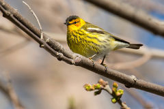 Cape May Warbler Royalty Free Stock Photos