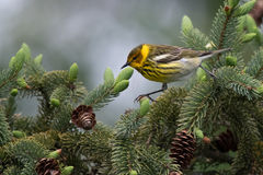 Cape May Warbler on the move in pine tree Royalty Free Stock Photos