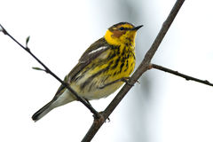 Cape May Warbler Royalty Free Stock Photo