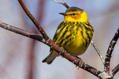 Cape May Warbler. Perched on a branch Stock Photography