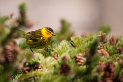 Cape May Warbler. On tree royalty free stock photography