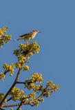 Cape May Warbler on a twig Stock Photo