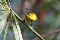 Cape May Warbler Stock Photos