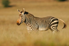 Cape Mountain Zebra Royalty Free Stock Photo