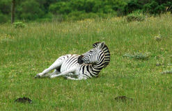 Cape Mountain zebra Stock Photos