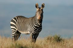 Cape Mountain Zebra Stock Photo