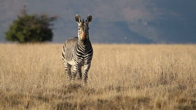 Cape Mountain Zebra Stock Image