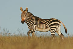 Cape Mountain Zebra. Endangered Cape Mountain Zebra (Equus zebra), Mountain Zebra National Park, South Africa stock image