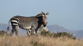 Cape Mountain Zebra stock video