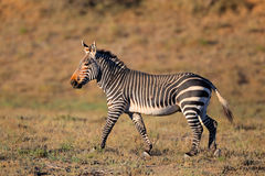 Cape Mountain Zebra Royalty Free Stock Photography
