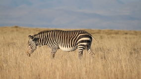 Cape Mountain Zebra stock video footage