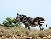 Cape Mountain Zebra (Equus zebra). This is the Cape Mountain Zebra, one of the most endangered mammals in the world, wild and in its natural habitat in South Royalty Free Stock Image