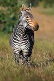 Cape mountain zebra in grassland Royalty Free Stock Photos