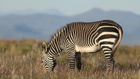 Grazing Cape mountain zebra stock video