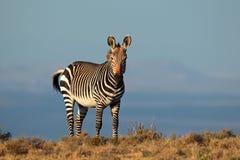Cape Mountain Zebra Stock Photography