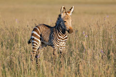 Cape mountain zebra foal Royalty Free Stock Image