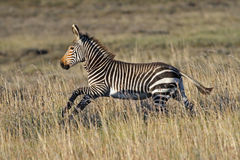Cape Mountain Zebra Foal Running. To catch up with the rest of the herd royalty free stock photography