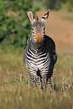 Cape mountain zebra in grassland Stock Photography