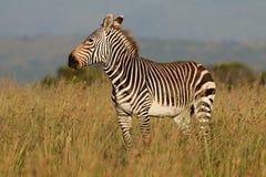 Cape mountain zebra in grassland Stock Photo