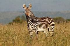 Cape mountain zebra in grassland Royalty Free Stock Photo