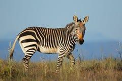 Cape mountain zebra in grassland Royalty Free Stock Photography