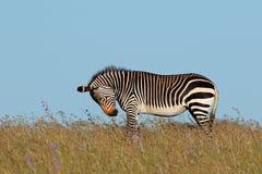 Cape mountain zebra in grassland Stock Image