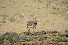 Cape Mountain Zebra Royalty Free Stock Images