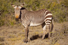 Cape mountain zebra in Karoo National Park, South Africa. A Cape mountain zebra in Karoo National Park in South Africa stock image