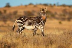 Cape mountain zebra in natural habitat royalty free stock photo