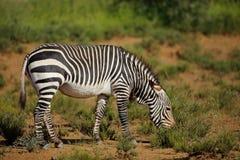 Cape mountain zebra in natural habitat Stock Photo