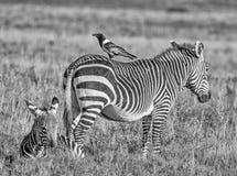 Cape Mountain Zebra With Pied Crow Stock Image