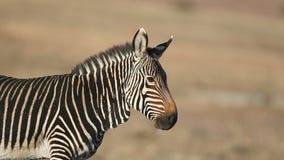Cape mountain zebra portrait stock video