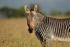 Cape mountain zebra portrait Stock Photos