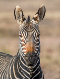Cape Mountain Zebra Portrait Royalty Free Stock Photography