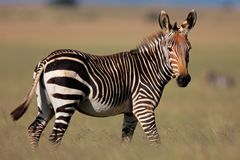 Cape Mountain Zebra, South Africa Royalty Free Stock Photography
