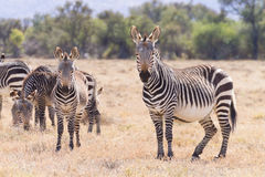 Cape mountain zebra, South Africa Stock Image