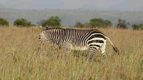 Cape mountain zebra walking stock video