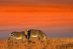 Cape Mountain Zebras Royalty Free Stock Photo