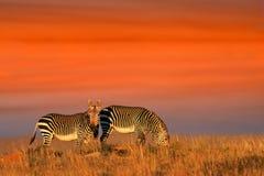 Cape Mountain Zebras royalty free stock photo