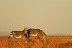 Cape Mountain Zebras Stock Photo