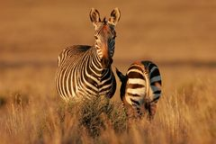 Cape Mountain Zebras. Endangered Cape Mountain Zebra (Equus zebra) with foal, Mountain Zebra National Park, South Africa royalty free stock images