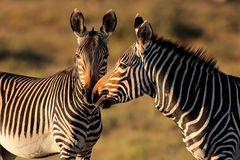 Cape Mountain Zebras Royalty Free Stock Image